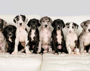 hero-great-dane-puppies